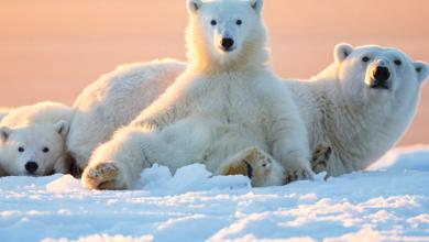 Продолжительность жизни белого медведя