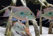 крупные аквариумные рыбы